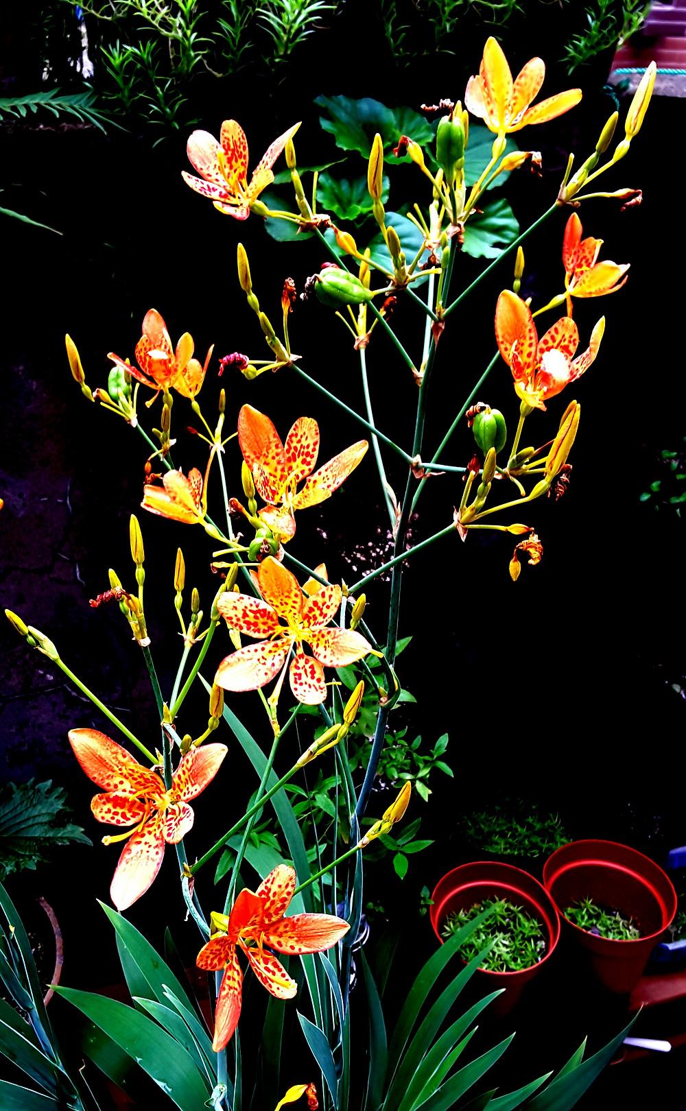Leopard Flower │射干
