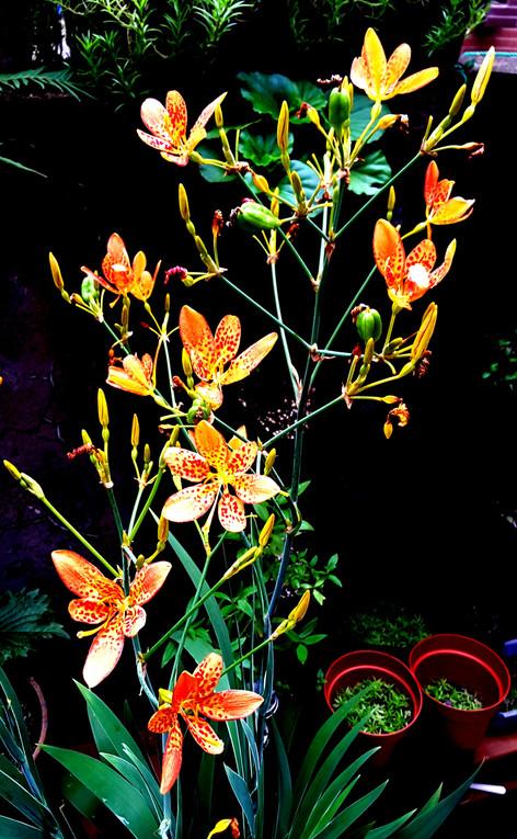 炎夏鮮明奪目活潑的「射干」花