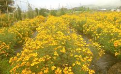 Marigold in Bloom_edited_edited