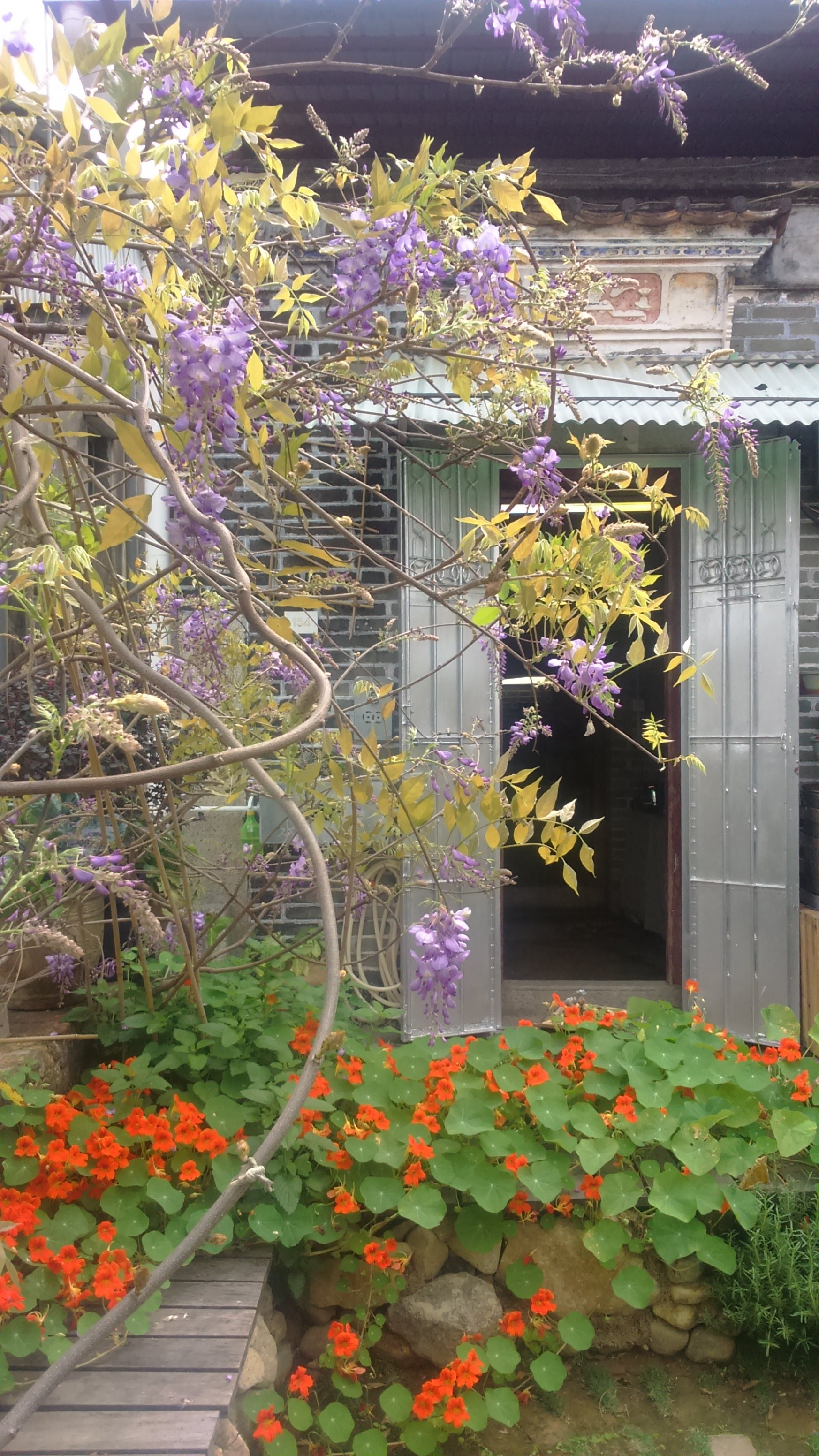 Chinese Wisteria is a fast growing climb