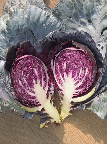 Winter harvest preview : Red Cabbage Sauerkraut