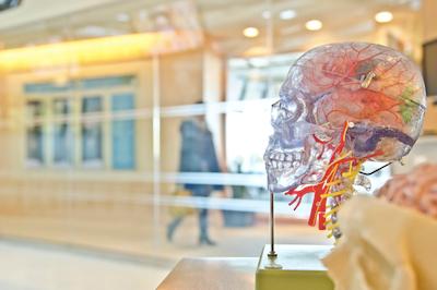 Brain inside model human head
