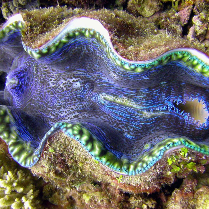 giant clam, low isles, great barrier reef