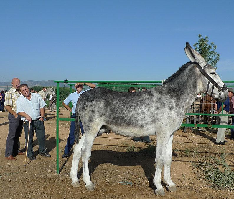 Andalusian donkey