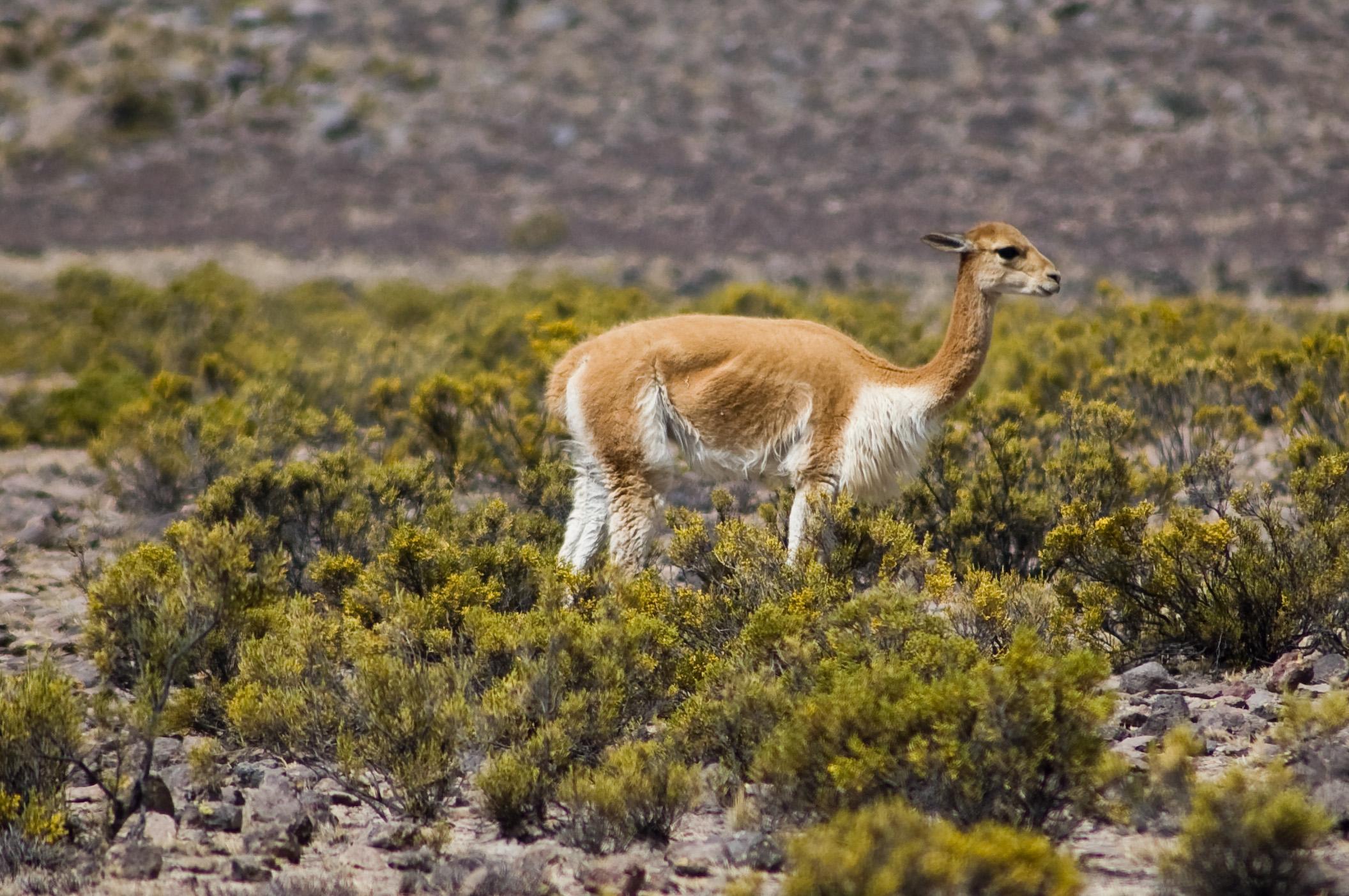 Vicuna_near_Arequipa.jpg