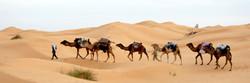 Canary camel