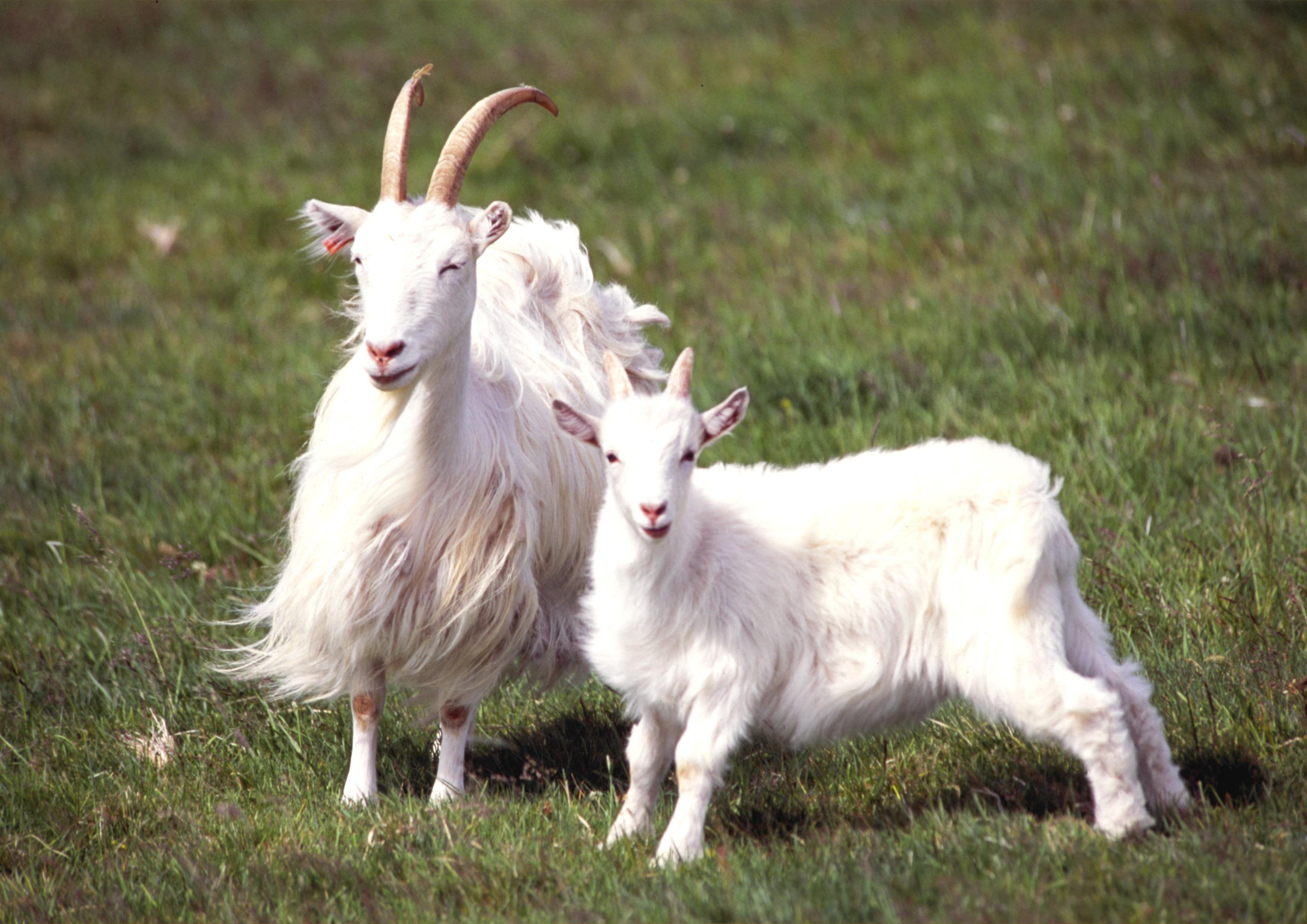 Icelandic goat or settlement goat