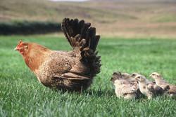 Icelandic chicken