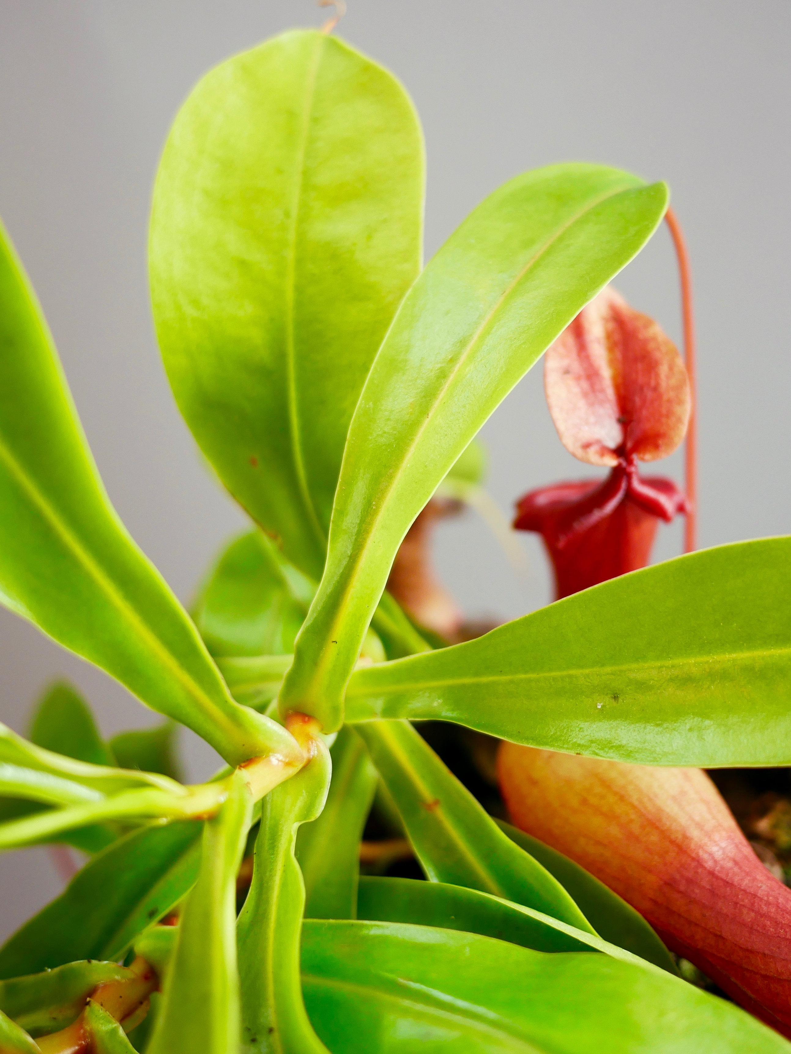 Nepenthes, Is A Carnivorous Tropical Plant Also Know As A