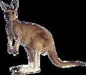 kangaroo-transparent-1.png