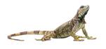 82-824227_download-lizard-png-transparen