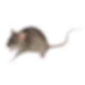 rodents, rats, mouses, mice, rodent cont