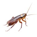 roaches, cockroaches, german cockroach,