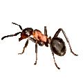 ants, fire ants sugar ants pharoa ants ,