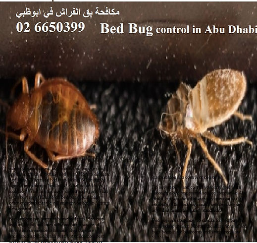 bed bug control in Abu dhabi | MAZAYA PEST CONTROL | how to get rid bed bugs