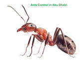Ants Control in Abu Dhabi | ants pest co