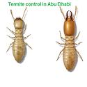 Termite control in Abu Dhabi | termite p