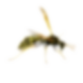 bee wasps , bee removal, wasps control b
