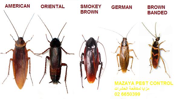 مكافحة الصراصير في ابوظبي   MAZAYA PEST CONTROL