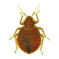 bed bug , bed bug control , bedbug contr