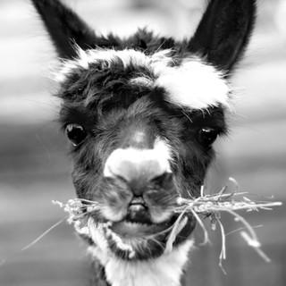 LeahMcDonald2019_1_alpaca.jpg