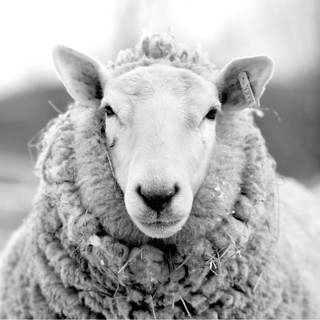 LeahMcDonald2019_3_sheep.jpg