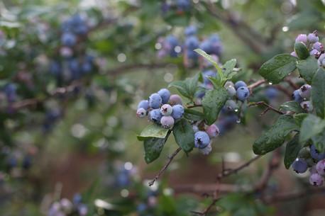 LeahMcDonald_Blueberries898A4347.jpeg