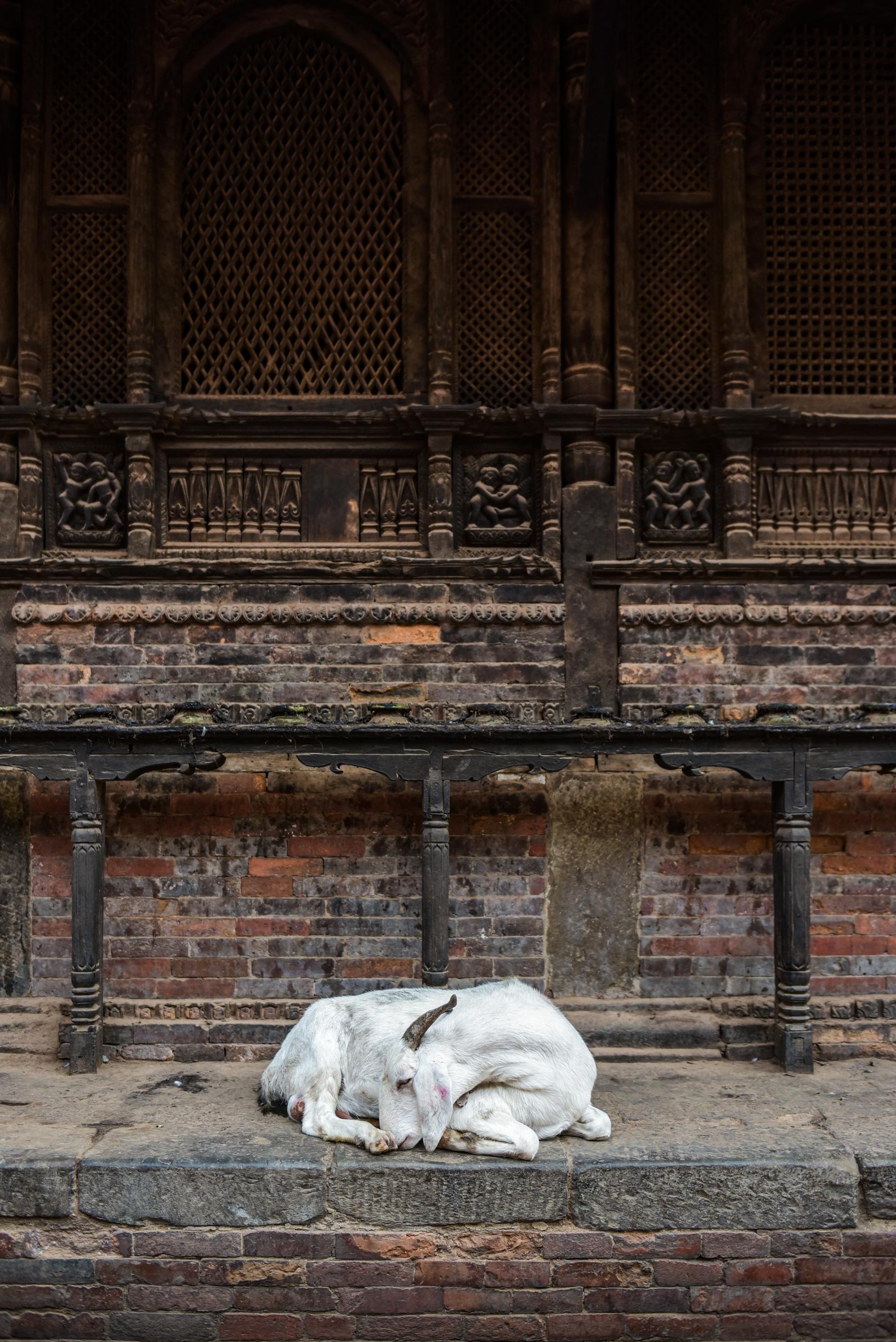 Ziege Nepal
