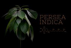 Pflanzen Shooting, Persea Indica