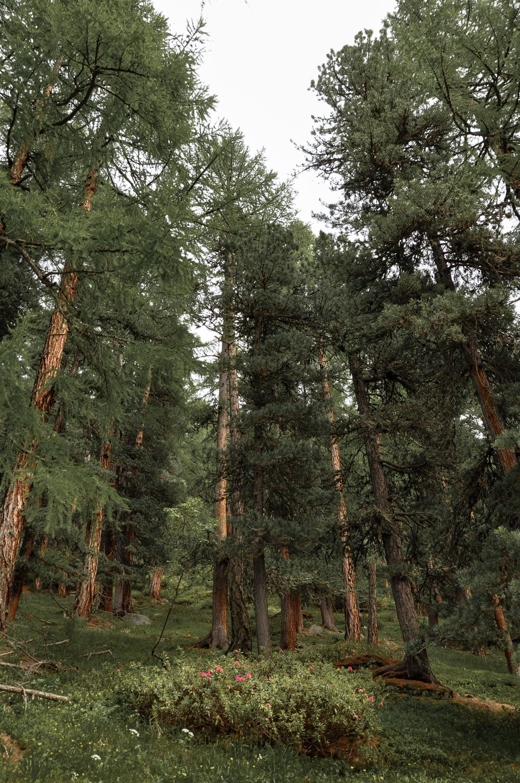 Wald in Zermatt