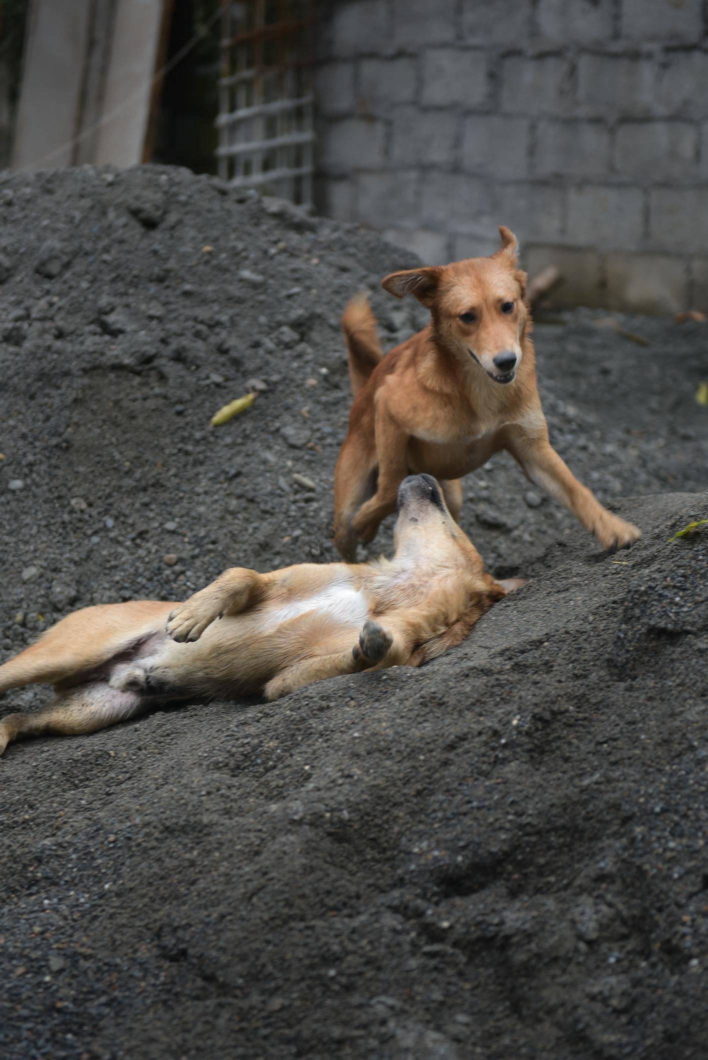 spielende Hunde Nepal