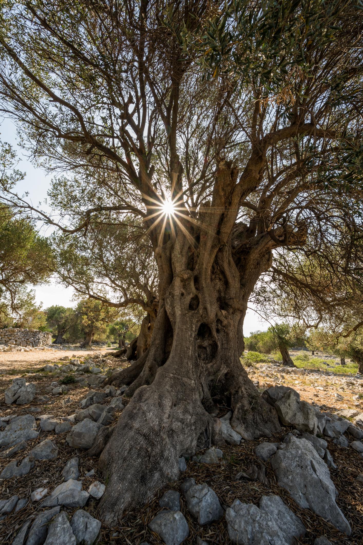 Olivenbaum Kroatien