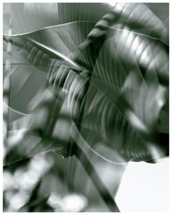 Streliztia Pflanze