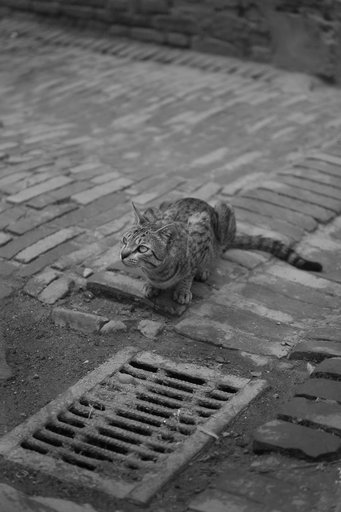 Katze Nepal