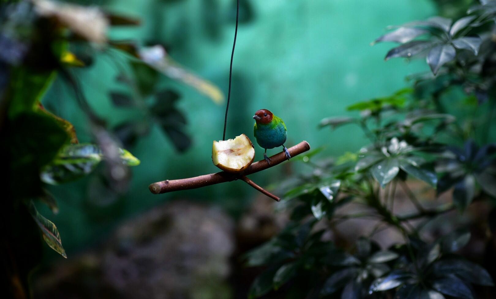 Vogel isst Apfel