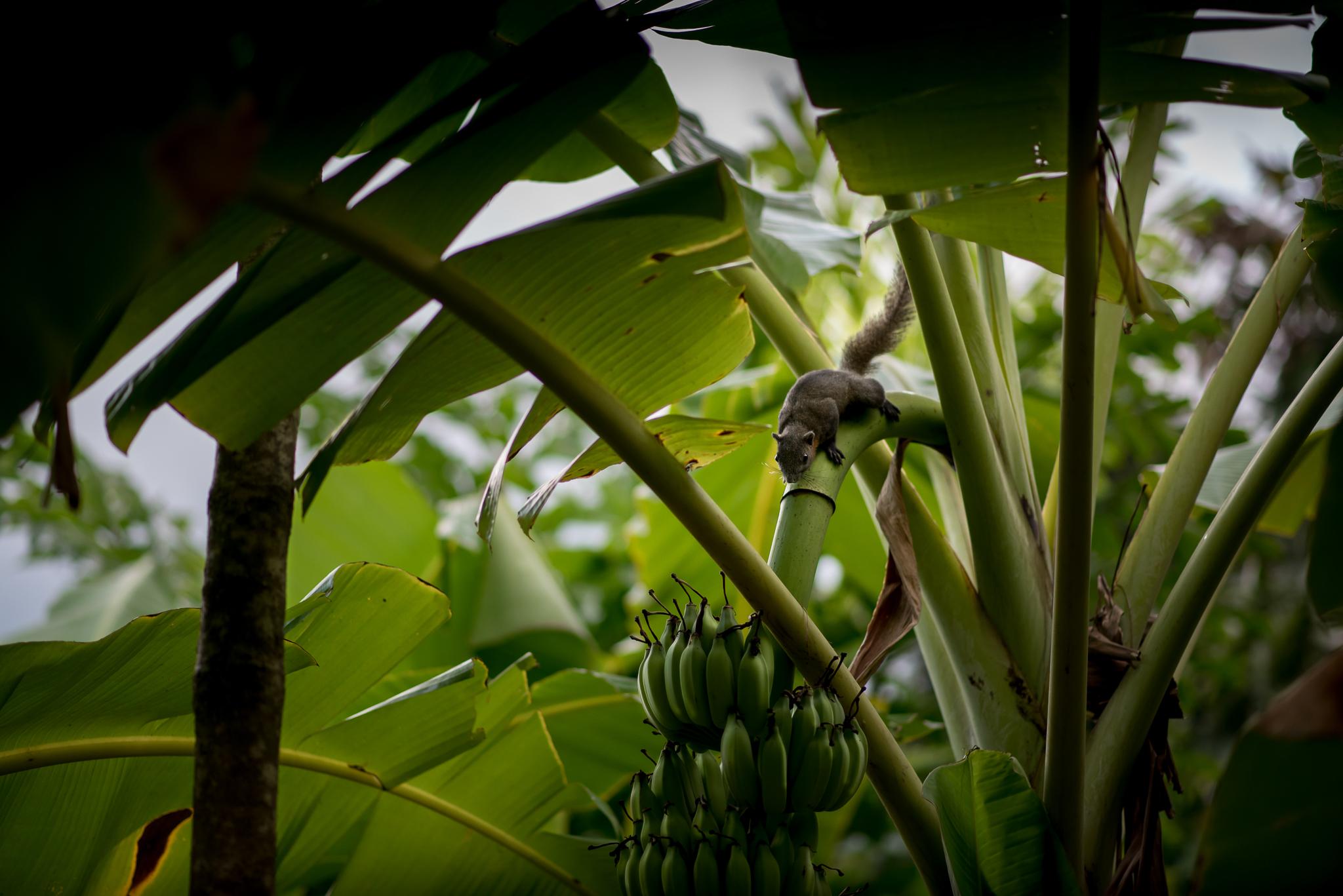 Eichhörnchen Thailand