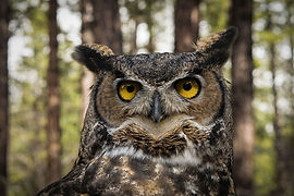 Great_Horned_Owl_in_Oregon.jpg