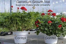 Geranium Growth Trial