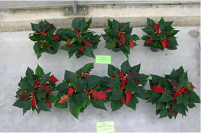 Pointsettia Trial Results