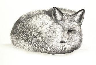 Red Fox in Snow.jpg