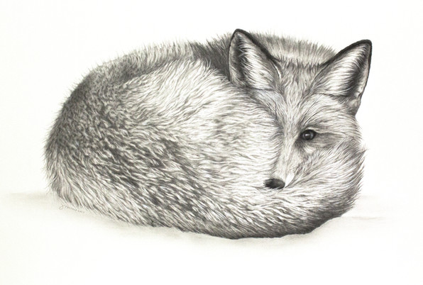 Red Fox in Snow Graphite Drawing