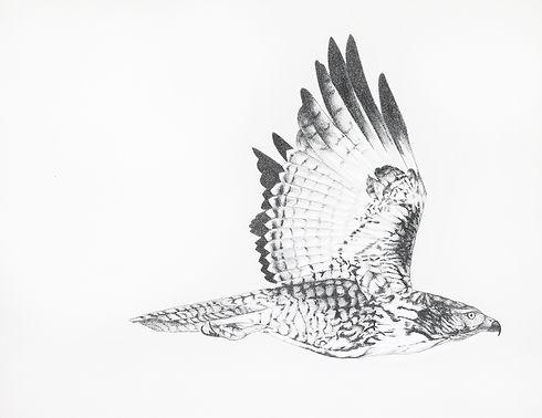 Flying_Hawk_Drawing