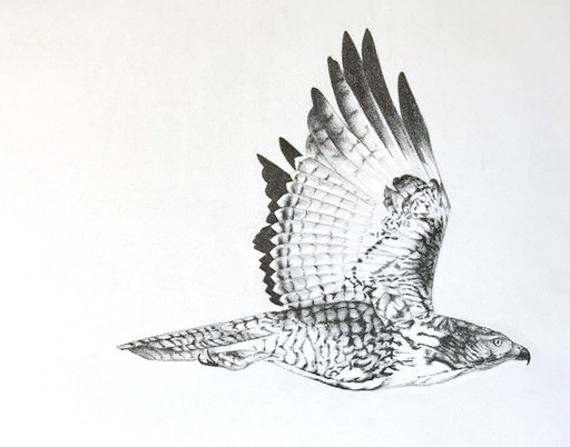 Red Tail Hawk Graphite Drawing