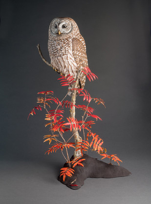 Barred Owl Carving on Sumac