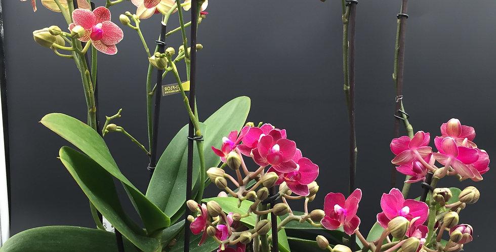 kleurrijke orchidee in mooie pot