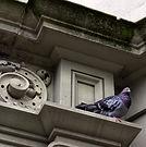 New York City Pigeon, Perched Pigeon.jpg