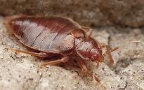 Bedbug, Bug, parasite, Czech Republic.jp