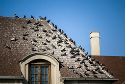 Pigeons on the roof covered with pigeon