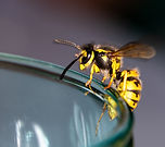 Wasp sitting on a glass  - danger of swa