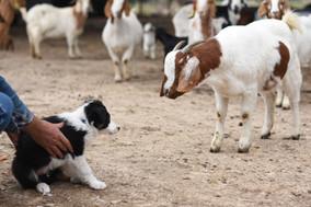 First Goat Meeting.jpg